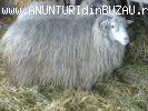 Vand oi turcane cu miei de 8-20kg