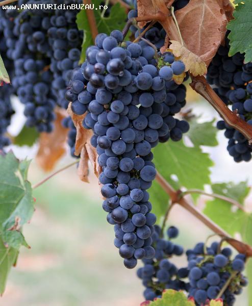 Vand struguri vin si masa Hamburg si Swenson