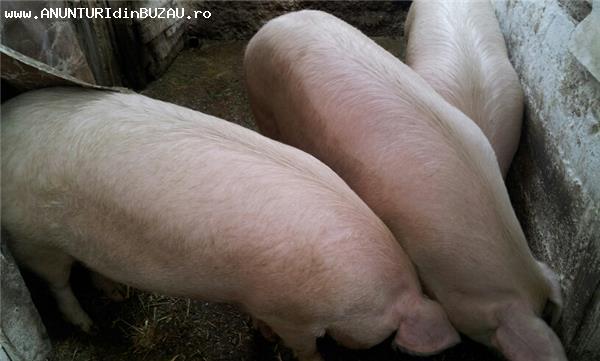 Vand porci de carne crescuti ecologic