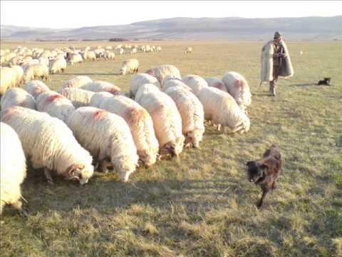 Angajam cuplu pentru ferma de oi in Cipru