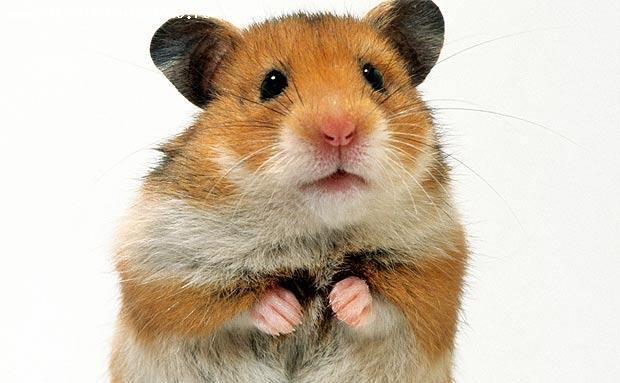 vand hamster  foarte jucaus