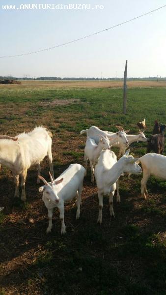 Vand 7 capre saanen pe lapte si 10 iedute