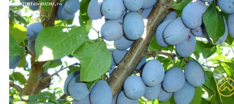 Vand prune romanesti