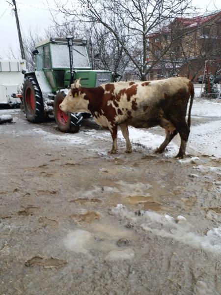 Vand 2 vaci baltata germana foarte bune de lapte