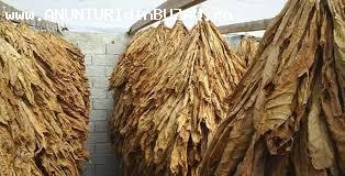 Vând tutun frunze preț 60 lei kg