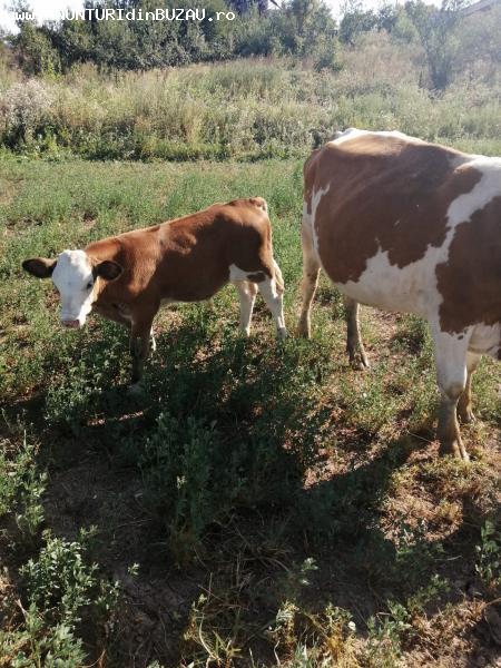 Vand vaca cu vitel baltata romaneasca,