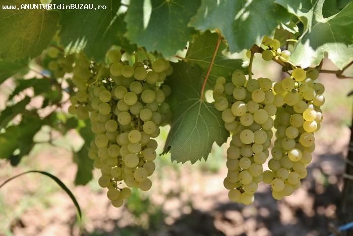 Vând struguri de vin: fetească albă și regală